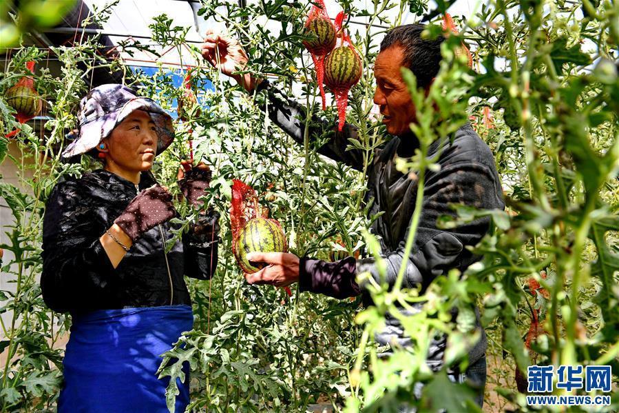 (脱贫攻坚)(1)西藏阿里:生态农业促脱贫