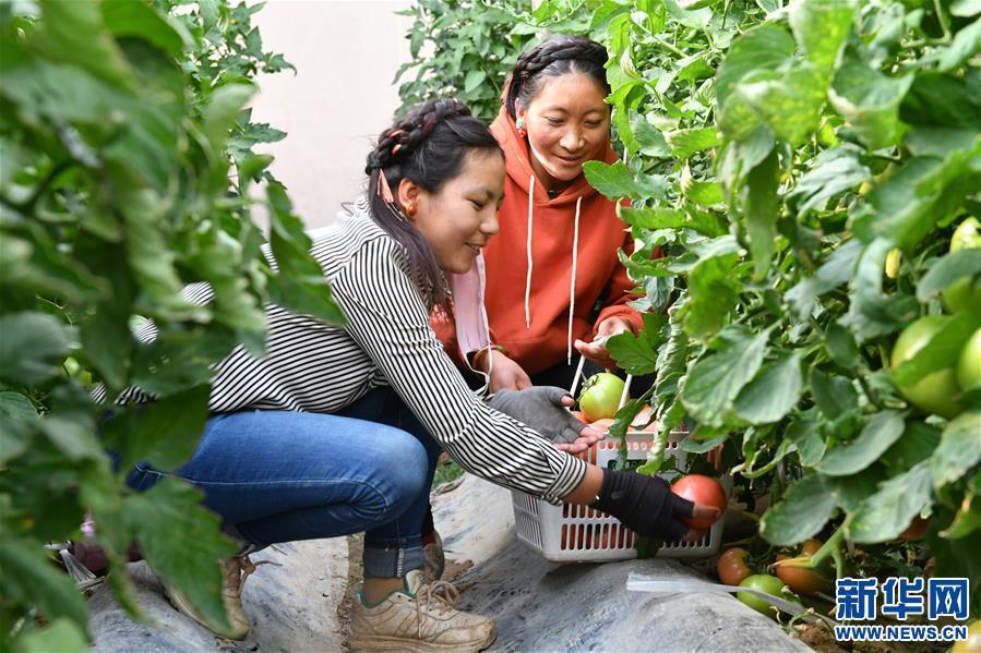 (脱贫攻坚)(7)西藏阿里:生态农业促脱贫
