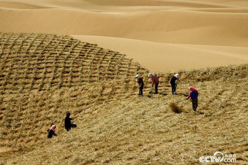 腾格里沙漠边缘中卫沙坡头地区,百姓在扎草方格治沙。(资料图)