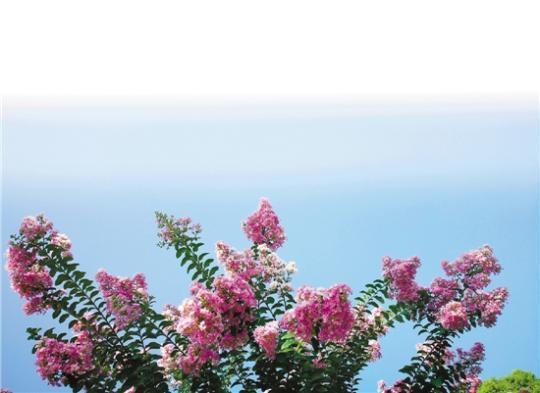 浪淘金 卖霸非闻名的木本观花树种
