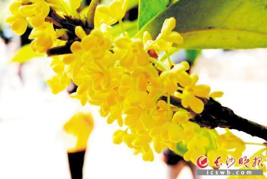 """长沙城内各处的桂花树迎来了盛花期,给长沙城欢度国庆增添最甜美的""""秋色""""。"""