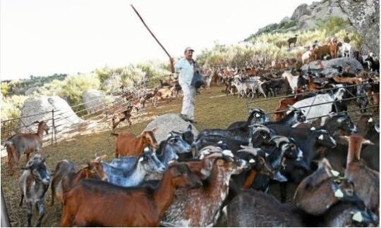 葡萄牙雇羊群大队吃草 对抗夏季森林大火
