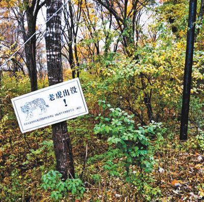 一片山头活跃着5到7只老虎 这国家公园怎么建?