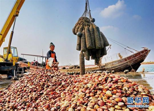 (经济)(1)河北乐亭:扇贝养殖助农增收