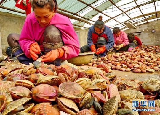 (经济)(2)河北乐亭:扇贝养殖助农增收