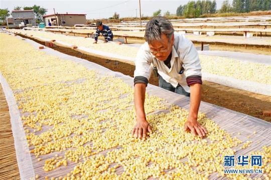 (经济)(3)河北乐亭:扇贝养殖助农增收