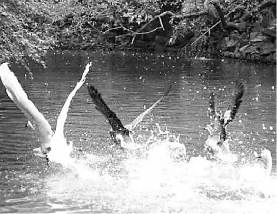 杭州动物园游禽湖里支起大网,这是干吗