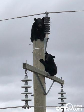 """加拿大两""""熊孩子""""高压电线上打盹"""