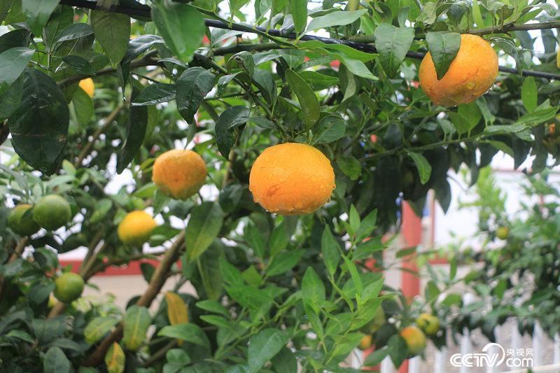 今年挂果的柑橘。(何川/摄)