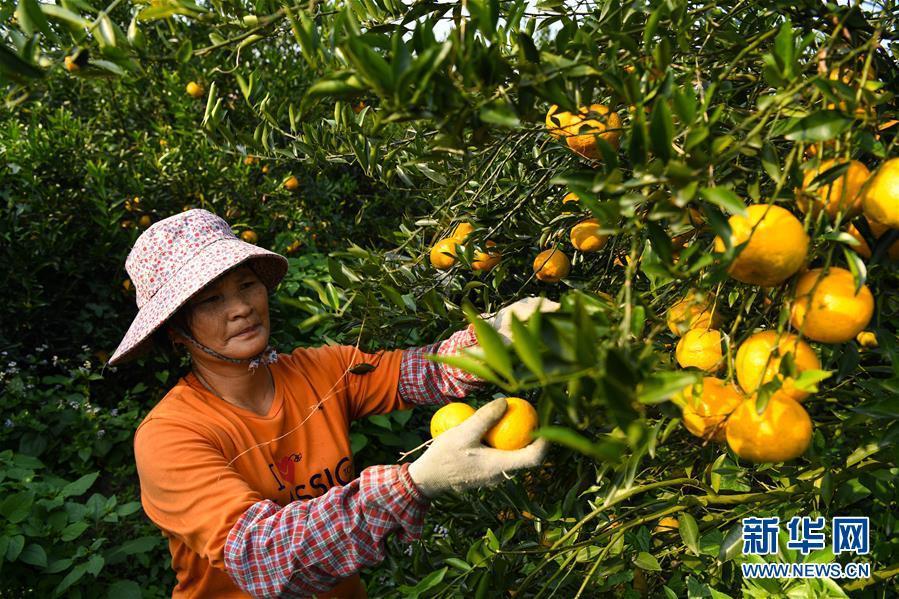 (社会)(6)柑果红 陈皮香