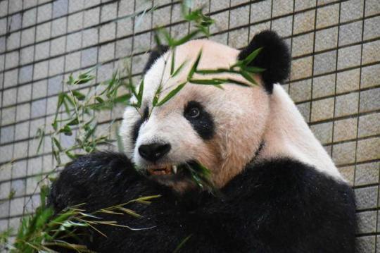 """大熊猫装牙套首例 牙齿断裂""""团团""""装上了钛金"""