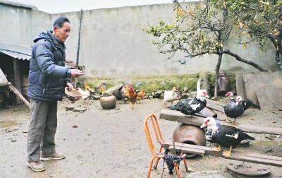 蔡甸农户养豚鸭成功脱贫过了个幸福年公孙策未行