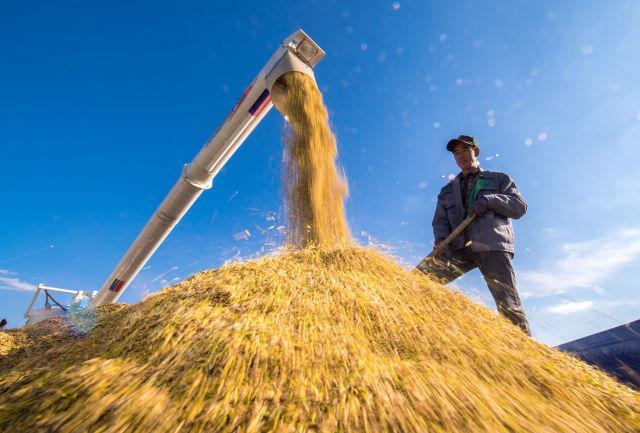 在吉林省吉林市一拉溪镇,农民在运粮车上整理收割机收获的水稻