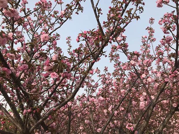 第五届中国鹤壁樱花文化节新闻发布会举办