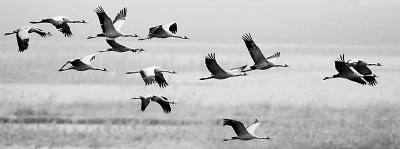三万候鸟过境北京 监测发现带有环志标志白枕鹤