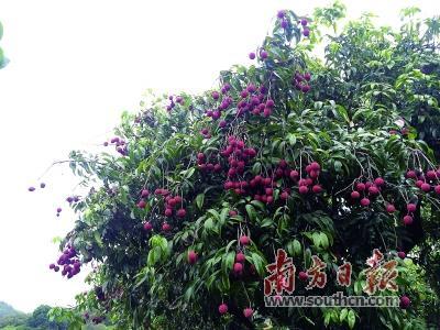 新兴香荔该不该向其他地区引种?