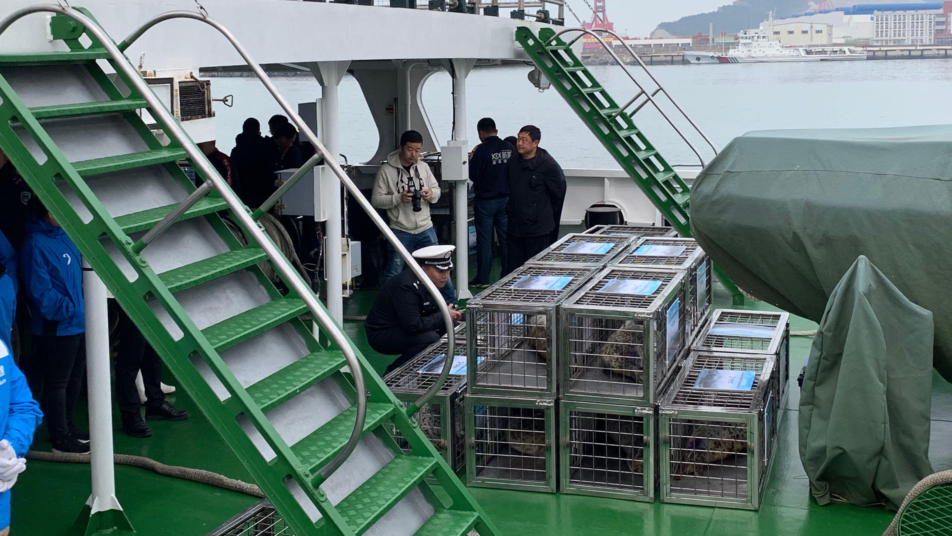 大连百头斑海豹被盗追踪:首批24头幸存幼崽被放生详情