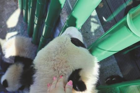 """女大学生回应""""偷摸大熊猫"""":熊猫顺着围栏爬了上来"""