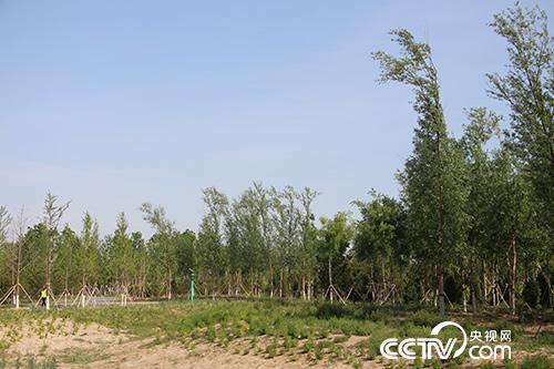 """""""千年秀林""""不仅改变着雄安新区的景色和生态,还为当地村民提供者就业岗位。(徐辉/摄)"""