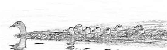 手太欠!西湖鸳鸯被游客抓伤恐夭折 志愿者拼命制止无果