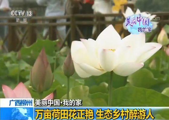 广西柳州:万亩荷田花正艳 生态乡村醉游人