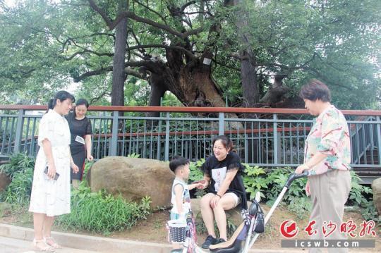 """400岁的老樟树亭亭如盖,被称雨花区""""树王""""。 少山表报通信员 刘漫 摄"""