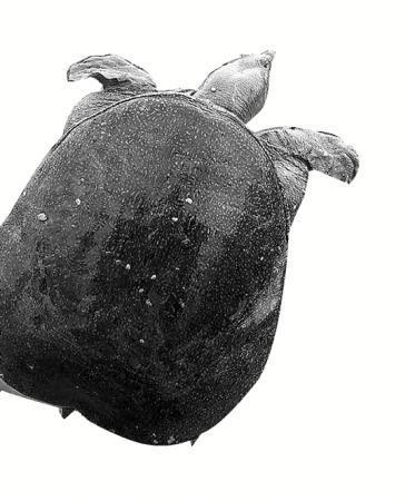 福寿螺啃光千亩荷塘甲鱼卫士出动 效果杠杠的