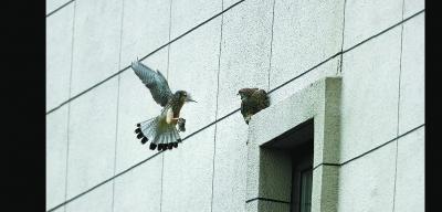 猛禽紅隼右安門安家孵化四只幼鳥