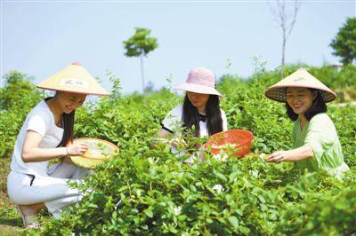 种植中药材:选择适宜种植区域 建立无公害生产体系