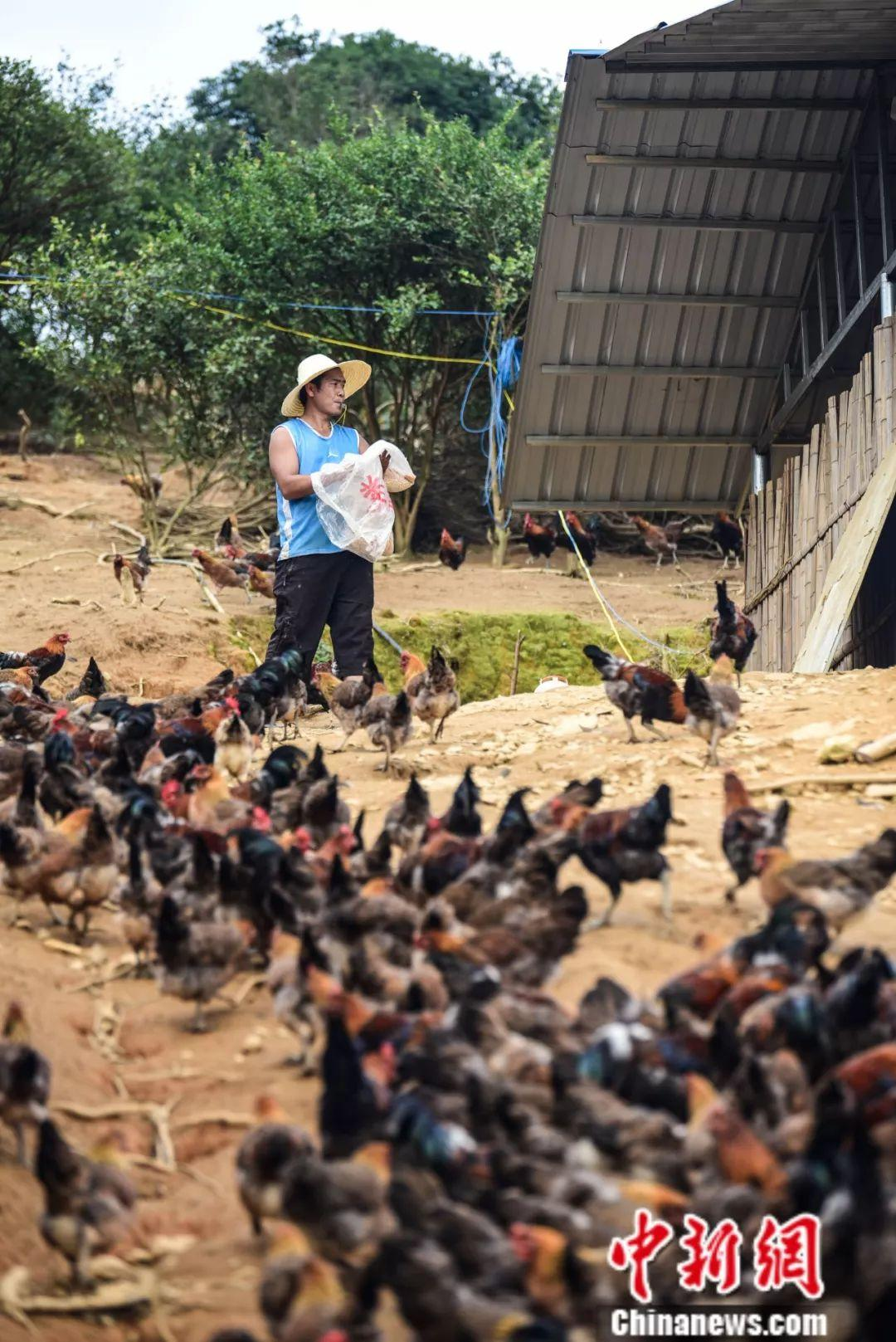 80后回乡创业当鸡司令 只因外面的鸡吃起来没乡愁