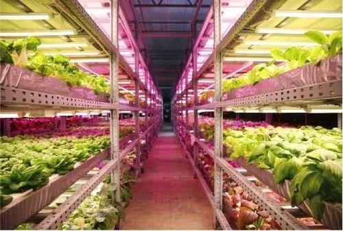 LED植物工厂:中国有了配资网自己的最高级农业
