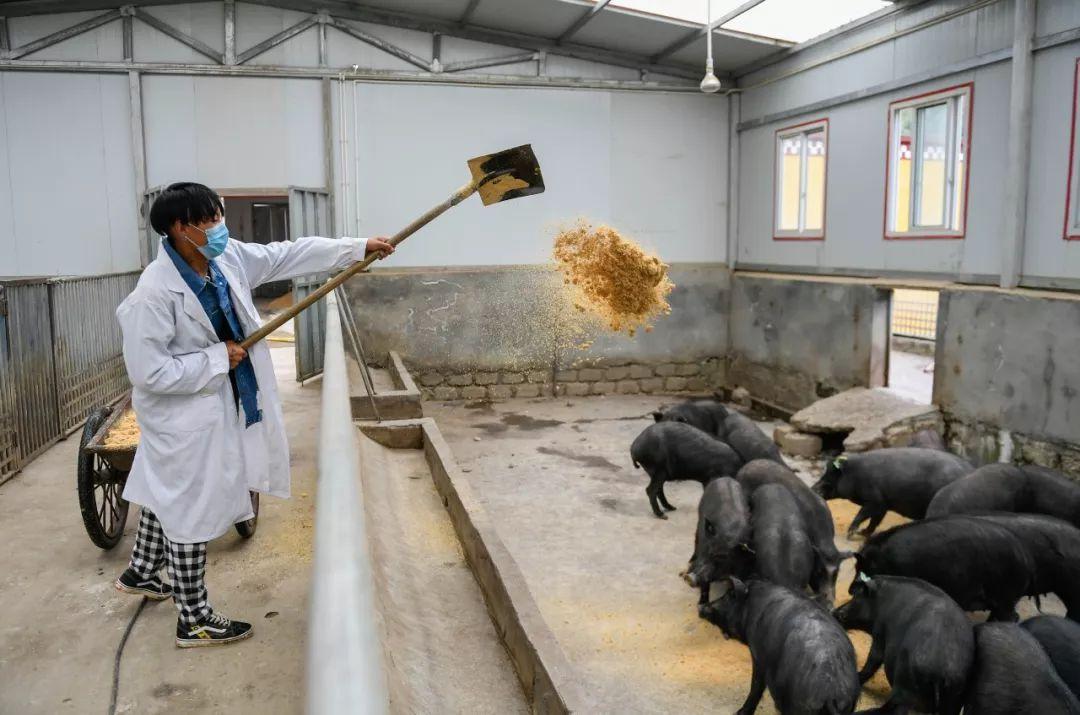 五问非洲猪瘟,你所关配资资讯切的答案都在这里