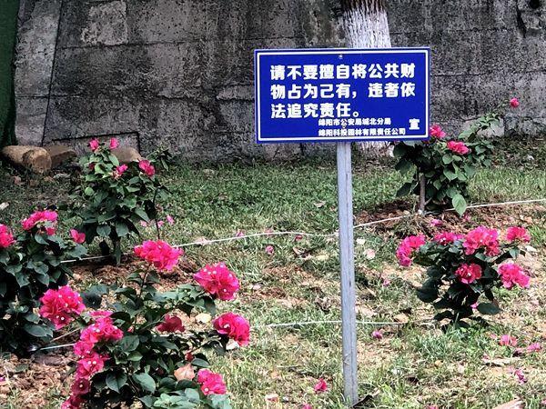 """1个月不到""""丢""""200株 四川绵阳景观花草拴钢丝防""""采花恶徒"""""""