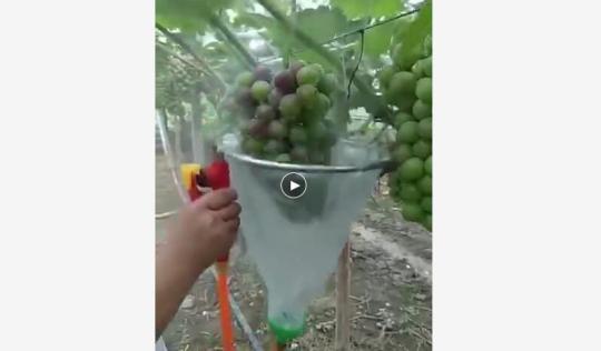 葡萄变色依赖喷药催熟? 专家:安全性没问题