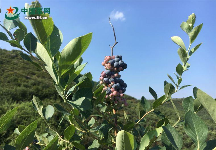 安徽庐江乐华村:靛青蓝莓高高挂,美了村子,富了农家