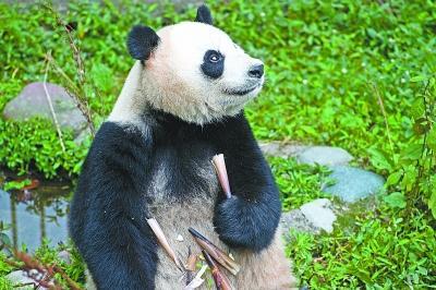 """熊猫""""姐妹花""""武汉安家"""