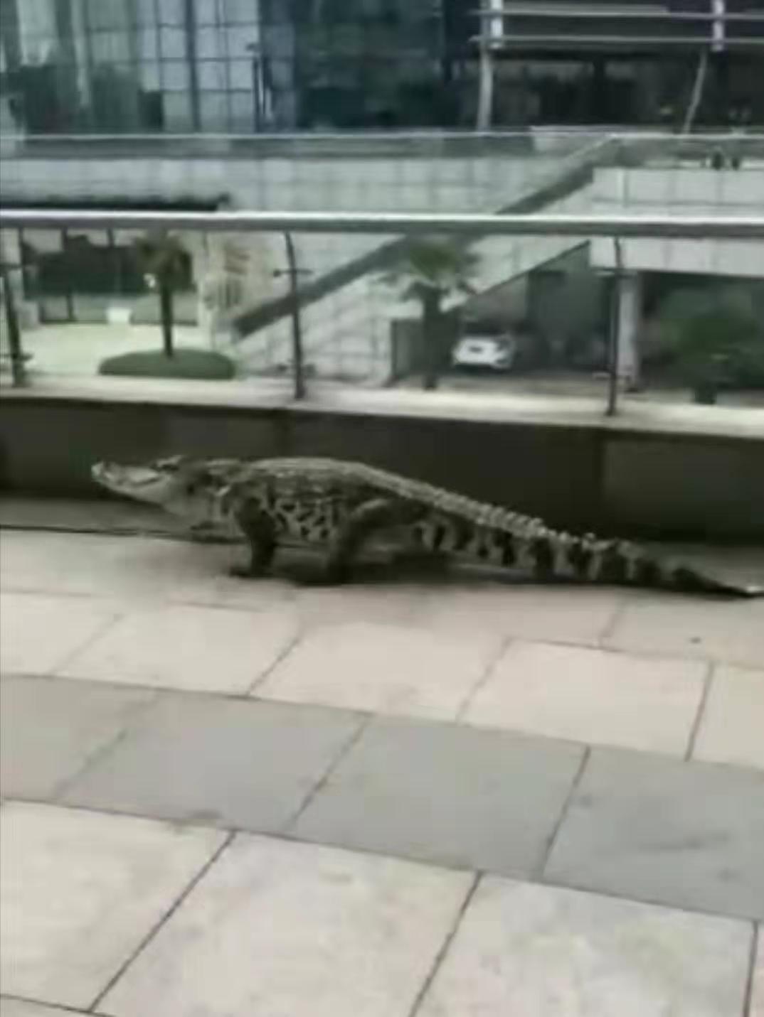 安徽芜湖因长江涨水有鳄鱼上岸?实为娱乐场合演出鳄鱼