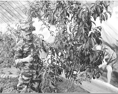 时时彩哪个是正规平台海拔3600多米的南疆高原首次种植桃树喜结果