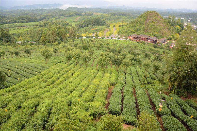 贵州金花村:茶旅一体 推动农旅融合发展