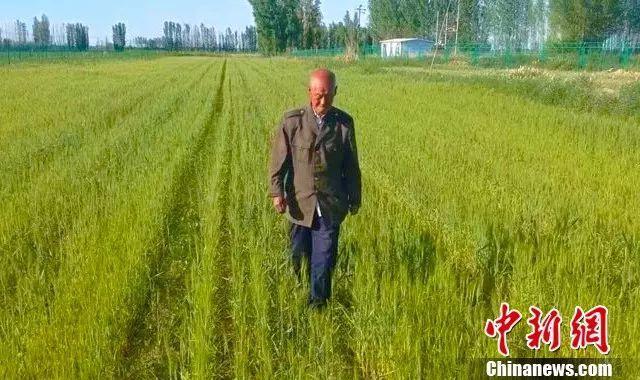 """跑遍新疆收集小麦品种 这位大爷被称为""""西域袁隆平"""""""
