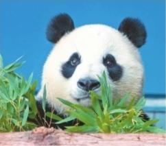 """武漢動物園邀市民參加大熊貓""""春俏""""生日會"""