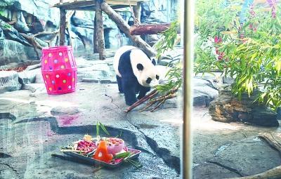 """大熊猫""""春俏""""在汉度过4岁生日"""