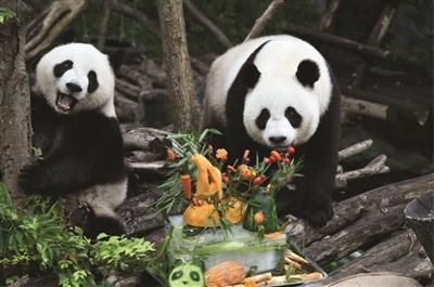 红山动物园大熊猫姐妹花4岁啦!