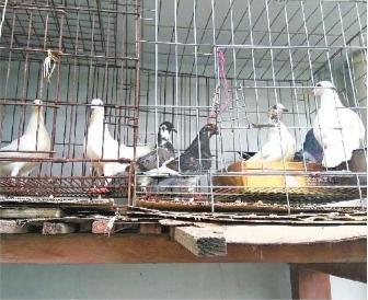 他想帮上mainhong 建设百只鸽子找个家