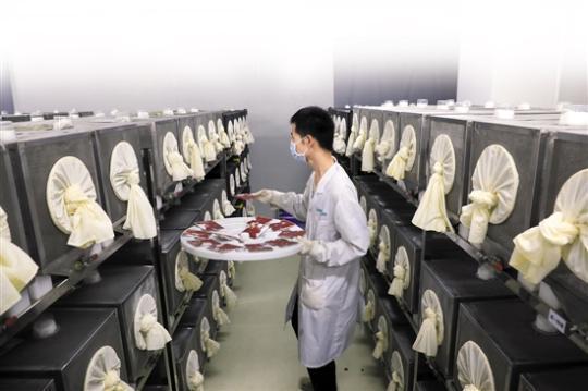 "<b>蚊子工厂:""感染+辐射""不论雌雄100%绝育</b>"