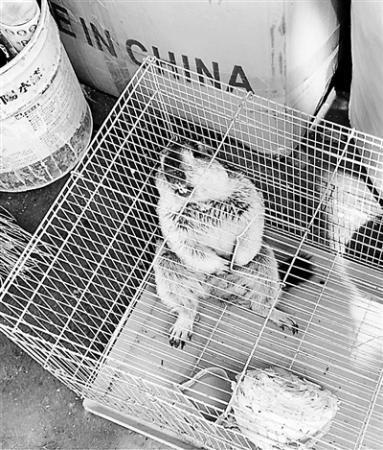 网红萌宠土拨鼠隐患:传染疾病风险 销售资质模糊
