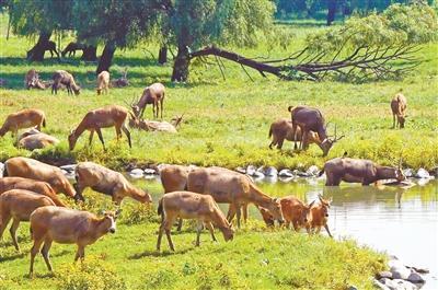 北京拟向张家口洋河湿地赠70只麋鹿