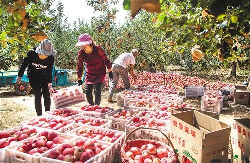 """苹果价格攀升 产业发展短板显现:产业如何更""""红""""?"""