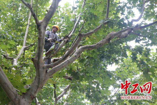 """""""城市理发师""""杨飞飞:为了那5万棵行道树的风景"""