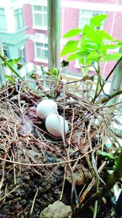 这对斑鸠三次到居民家做窝 花盆中半年孵出几窝小鸟